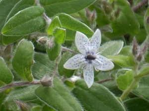 Billardiera granulatus
